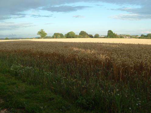 The cornfield..